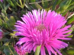 Flor uña de gato
